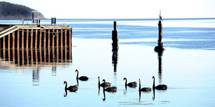 Day12 American River swans slowly glided past on such a still day on Kangaroo Island.