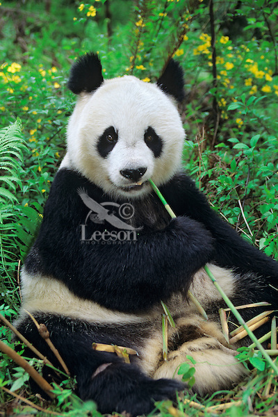 Giant Panda feeding on bamboo (Ailuropoda melanoleuca), Wolong Nature Reserve in the Qionglai Mountains, Sichuan Province of central China.