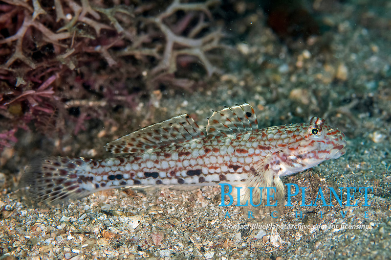 Decorated Goby, Istigobius decoratus, Makawide Slope dive site, Lembeh Straits, Sulawesi, Indonesia, Pacific Ocean