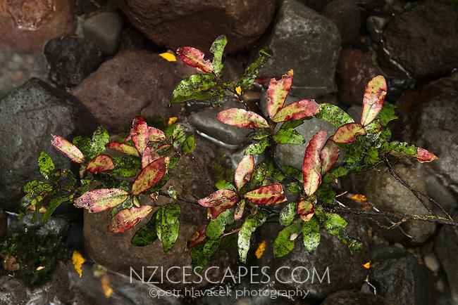 Horopito, peper tree, Egmont National Park, North Island, New Zealand, NZ
