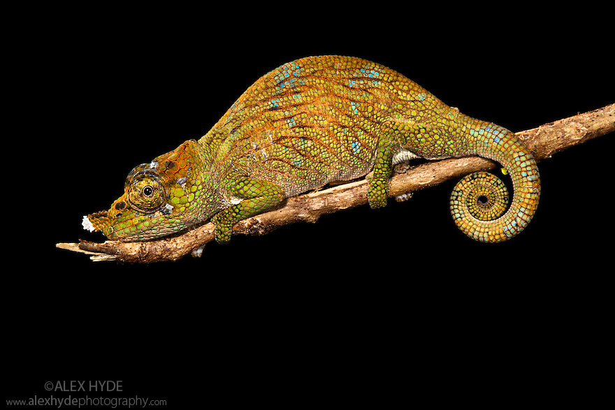 Nose-horned chameleon {Calumma / Chamaeleo nasutus} on branch at night, tropical rainforest, Andasibe-Mantadia NP, Eastern Madagascar.