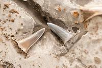 Versteinerter Haizahn, Haizähne, Haifischzahn, Haifischzähne, Kleinzahn-Sandtigerhaie, Sandtigerhaie, Sandhai, Odontaspis spec., sand shark, sand-shark, Shark Tooth, Fossil, Fossilien, Versteinerung, Versteinerungen, fossils, Moler von den Inseln Fur und Mors, Diatomit oder Kieselgur, Übergang vom Oberen Paläozän zum Unteren Eozän vor etwa 55 Millionen Jahren entstandenes Sedimentgestein, Limfjord, Dänemark
