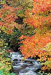 Japanese maples overhang rushing stream, Yakushima, Japan