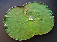 A large water drop on a Lotus flower leaf. Lotus flower fields lake and farm north west of Battambang