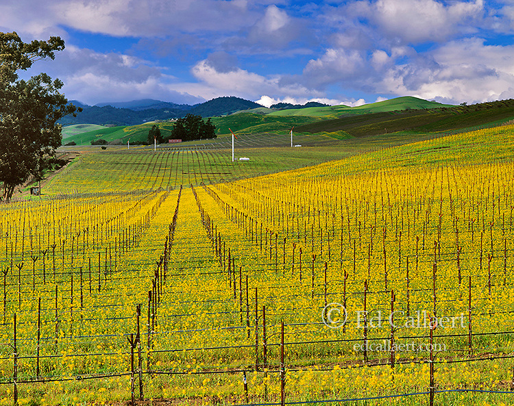 Clearing Storm, Mustard Field, Carneros Appellation, Napa Valley, California