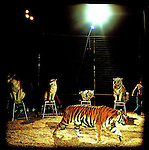 Khris Allen of the Clyde Beatty Cole Brothers circus performs his tiger taming show during a circus in Florida
