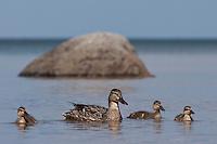 Stockente, Stock-Ente, Weibchen schwimmend mit ihren Küken, Anas platyrhynchos, mallard
