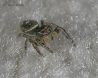 1015-06yy Jumping Spider - Family: Salticidae - © David Kuhn/Dwight Kuhn Photography