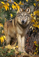 Young Gray Wolf (Canis lupus) in fall.