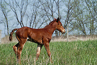 Foal stands in summer meadow, Missouri USA