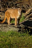 Mountain Lion stalking prey in Yosemite, Calif.