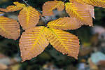 Yellow birch tree in gold fall colors, close-up several leaves.