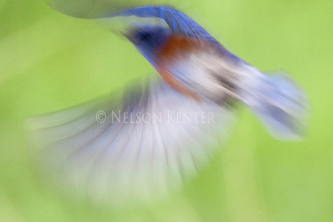 Male western bluebird in flight in montana