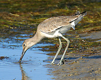 Adult willet in non-breeding plumage feeding