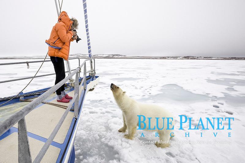 polar bear, Ursus maritimus, with bloody face, roaming on ice after feeding on Atlantic walrus, Odobenus rosmarus rosmarus, interacting with photographer, Spitsbergen, Svalbard, Norway, Arctic Ocean