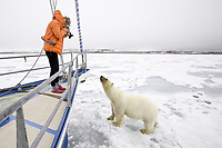 polar bear, Ursus maritimus, with bloody face, roaming on ice after feeding on Atlantic walrus, Odobenus rosmarus rosmarus, interacting with photographer, Spitsbergen, Svalbard, Norway, Arctic Ocean