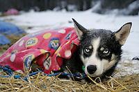 Thursday March 8, 2007   ----  One of Sebastian Schnuelle's dogs rests under a blanket at Takotna on Thursday morning.