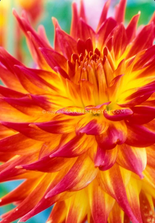 Semi Cactus Dahlia Firebird in firey red orange and yellow flower close up of petals