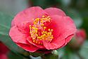 Camellia 'Arbutus Gum', glasshouse, early February.