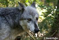 0823-1003  Gray Wolf (Grey Wolf), Canis lupus  © David Kuhn/Dwight Kuhn Photography
