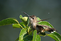 This Black-chinned hummer is fluttering against the cool wet leaves, in an effort to cool off from the 100 degree + heat..