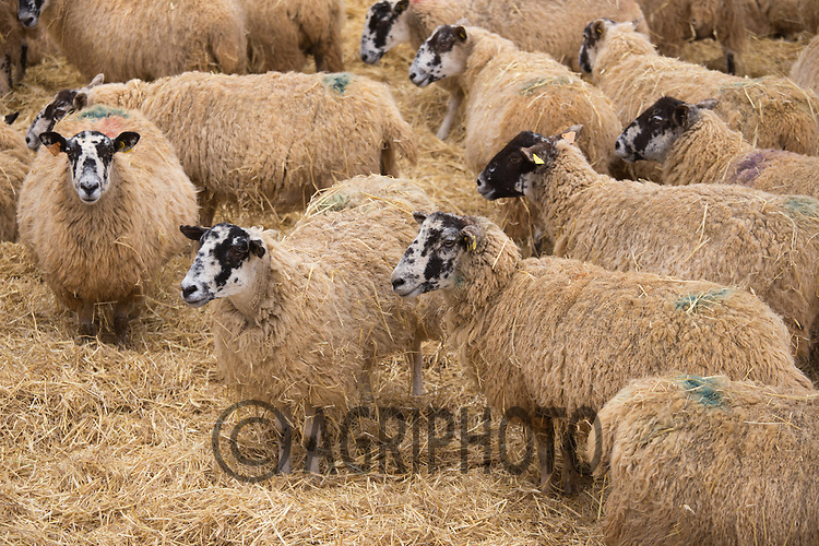 Ewes in straw yards waiting to lamb<br /> Picture Tim Scrivener 07850 303986 tim@agriphoto.com<br /> ….covering agriculture in the UK….