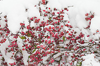 Europäisches Pfaffenhütchen, Früchte mit Schnee, Frucht, Gewöhnlicher Spindelstrauch, Pfaffenkäppchen, Euonymus europaeus, common spindle, European spindle, fruit, snow, Le Fusain, Fusain d'Europe