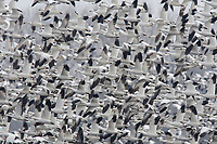 """Flock of """"Greater"""" Snow Geese (Chen caerulescens) departing an agricultural field during migration. Montezuma NWR, New York. March."""