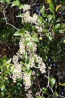 Raue Stechwinde, Rauhe Stechwinde, Smilax aspera, rough bindweed, sarsaparille