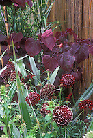 Red purple foliage and flowers of Scabiosa atropurpurea 'Ace of Spades' and Cercis canadensis Forest Pansy with Astelia charamica 'Silver Spear', and Miscanthus sinensis Strictus, against woven fence, mixed plants combination in garden