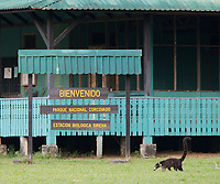 A coati walks in front of Sirena Research Station in Corcovado National Park