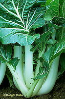 HS61-002a   Choi - Chinese cabbage - Pac Choi - Prize Choy variety