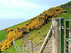 Sign Post indicating The Ceredigion Coastal Path with the Gorse in full flower. The rocks in Ceredigion were laid down on the floor of a deep-sea basin during the Silurian and Ordovician period some 505 to 406 million years ago. These sedimentary rocks – mudstones, siltstones and sandstones – were uplifted and emerged above the sea during a later mountain building period. This caused them to be folded and faulted. The eroded coastline provides a unique opportunity to see these rocks and their structures.<br /> <br /> Stock Photo by Paddy Bergin