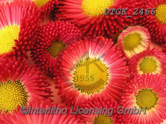 Gisela, FLOWERS, BLUMEN, FLORES, photos+++++,DTGK2466,#f#, EVERYDAY