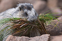 Hoary Marmot gathers grass for nest, Denali National Park, Alaska