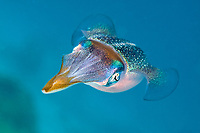 The Caribbean reef squid, Sepioteuthis sepioidea, is commonly observed in shallow near shore water of the Caribbean.