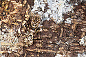 Praying mantis {Mantodea} camouflaged on tree bark, tropical rainforest. Masoala Peninsula National Park, north east Madagascar.