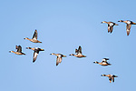 Damon, Texas; a flock of blue-winged Teal ducks flying against a blue sky in afternoon sunlight