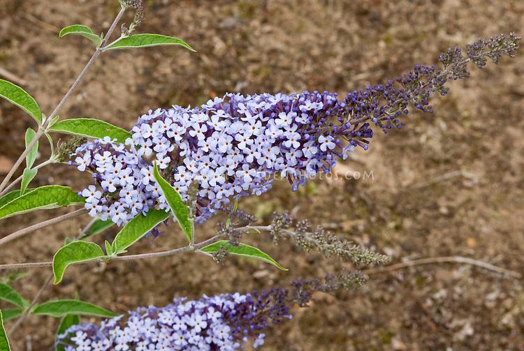 Butterfly Bush Buddleja davidii 'Glasnevin Hybrid'