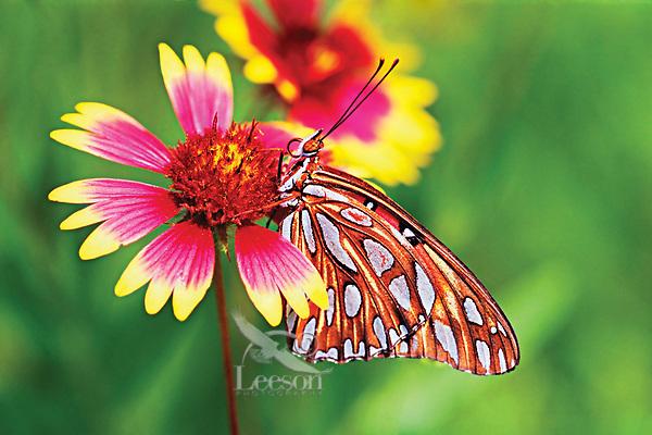 Fritillary butterfly on Firewheel wildflower