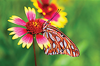 Fritillary butterfly on Firewheel wildflower