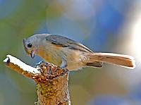 Tufted (Northern) titmouse juvenile bird lacks black forhead of adult.