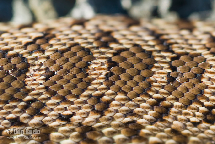 Dorsal scales of Pacific gopher snake, Pituophis catenifer catenifer.  Mount Diablo State Park, California