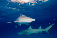 motion blur, Lemon shark, Negaprion brevirostris, Bahamas, Caribbean, Atlantic