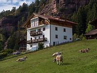 Rinderweide  bei  Vöran, Region Südtirol-Bozen, Italien, Europa<br /> cattle near Vöran, Region South Tyrol-Bolzano, Italy, Europe