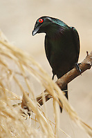 The Asian Glossy Starling (Aplonis panayensis) - also known as Philippine Glossy Starling - is endemic to Bangladesh, Brunei, India, Indonesia, Malaysia, Myanmar, the Philippines, Singapore, and Thailand. They are found in subtropical or tropical moist lowland and mangrove forests.
