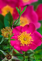 Rosa carolina - single petal rose flower with bright yellow stamens