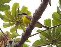 Boat-billed flycatcher
