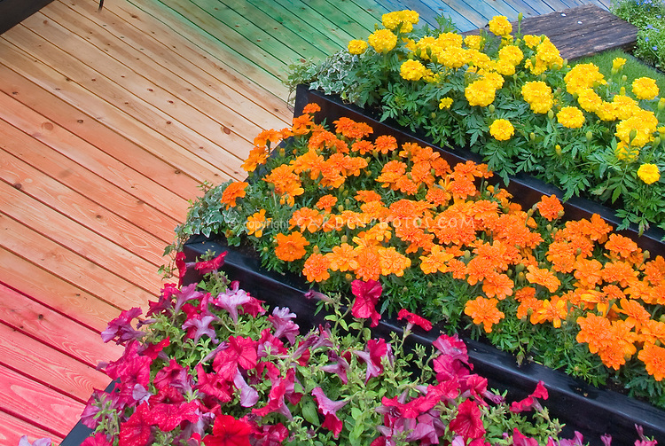 Annual flowers Marigolds in orange and yellow signet Tagetes, with red petunias, in raised tiered planter beds, next to rainbow of hues in wooden walkway for hot warm bright color themes in small space garden