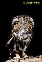 OW12-001z  Saw-whet owl - double exposure showing ability to turn head - Aegolius acadicus